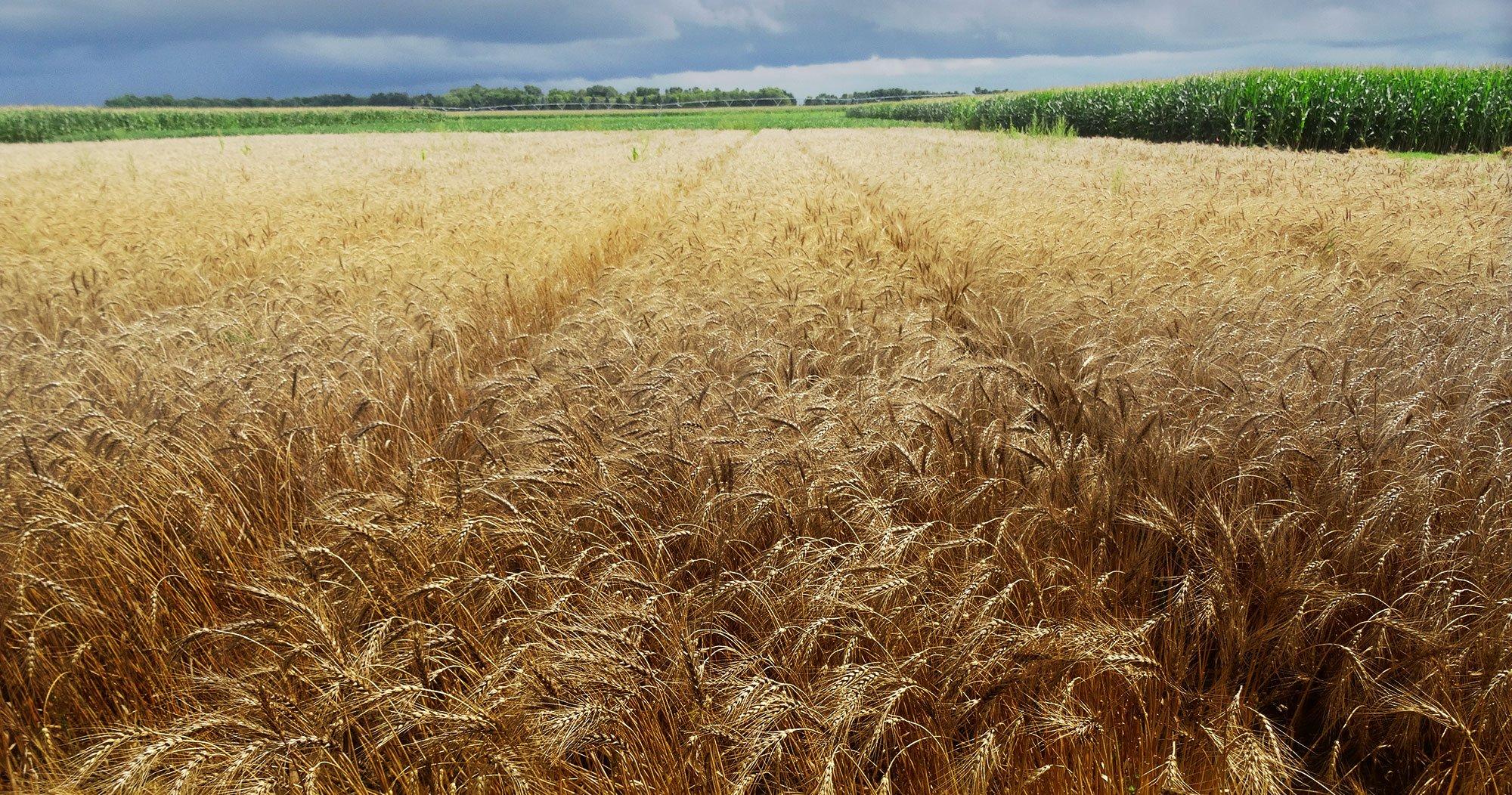 hero-wheat